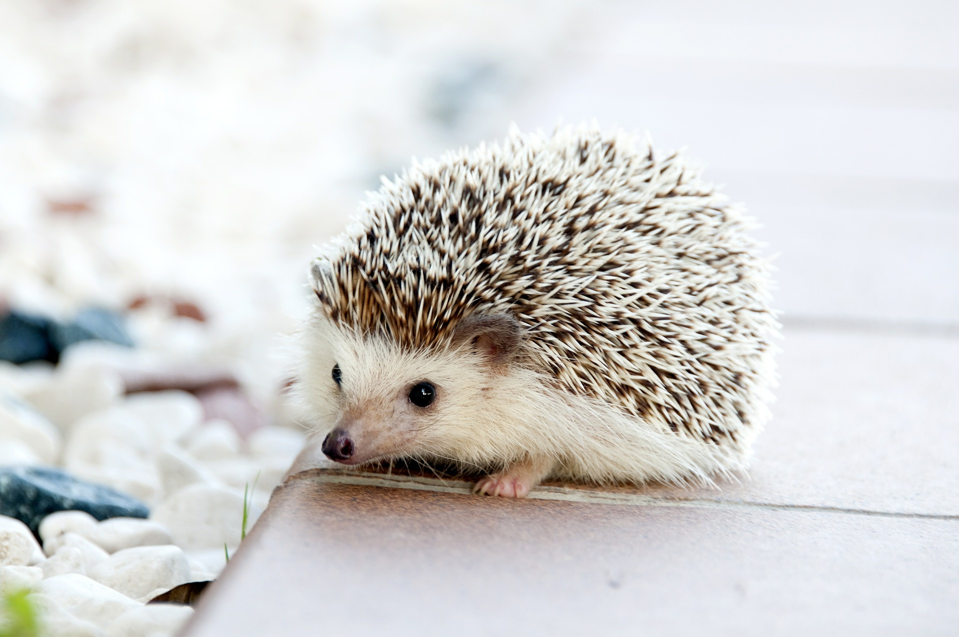 hedgehog-468228_1920